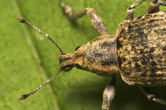 "Weevil(2) • <a style=""font-size:0.8em;"" href=""http://www.flickr.com/photos/57024565@N00/515074680/"" target=""_blank"">View on Flickr</a>"