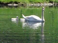 Memorial Day Weekend 079 (Momma Gadz) Tags: swans cygnets memorialdayweekend