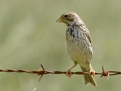 Trigueiro - Emberiza calandra (Miliaria calandra) - Corn Bunting (Jose Sousa) Tags: wild naturaleza bird portugal nature birds animal animals fauna wildlife natureza birding feathers birdsinportugal avesemportugal natura aves explore ave montemoronovo animales animaux animais birdwatching avesdeportugal animalia avian evora oiseaux avifauna birdwatcher selvagem penas emberizacalandra cornbunting vidaselvagem miliariacalandra greatnature trigueirao birdsfromportugal avesjsousa