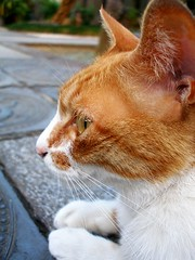 Profile of a temple cat (tanakawho) Tags: cute eye animal closeup backlight cat mouth fur nose temple paw coat tabby profile fluffy whisker ear tanakawho