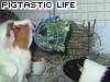 Pigtastic Life