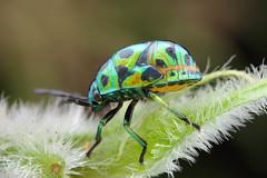 IMG_8750 Jewel bug, HBBBT! (omtelsimon) Tags: coleoptera scutelleridae hemiptera