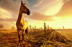 the golden light of the setting sun late on a winter afternoon (Dan65) Tags: winter sunset horse orange sun yellow gold austria golden vineyard wine 5 vine explore buckskin dun teke akhal akhalteke auersthal gazan sensationalphoto