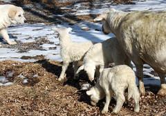 January lambs