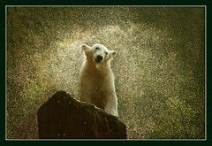 Furry Fountain (hvhe1) Tags: bear nature water animal bravo quality wildlife polarbear polar waterdrops shaking blueribbonwinner outstandingshots specanimal animalkingdomelite abigfave hvhe1 hennievanheerden superbmasterpiece