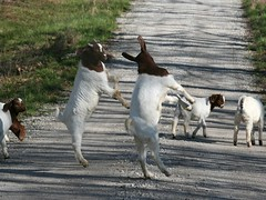 Dancing in the street (Boered) Tags: road playing kids babies indiana goats boergoats bucklings abigfave