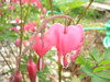 Blooming Bleeding Heart