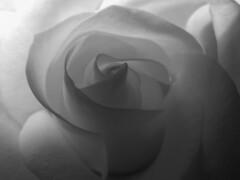 yellow rose (carl derrick) Tags: nyc newyorkcity blackandwhite bw flower nature rose c queens astoria naturenyc bwartaward