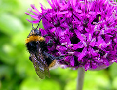 Wet Bee on Wet Allium (Ascendingkitty) Tags: uk plant flower nature beautiful rural insect countryside bravo bee bumblebee allium naturesfinest insectonflower outstandingshots flickrsbest specnature abigfave sharingexposures anawesomeshot colorphotoaward superbmasterpiece diamondclassphotographer