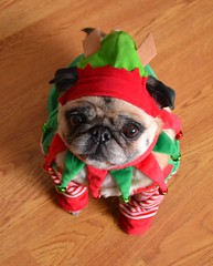 Compact Pug Elf (DaPuglet) Tags: pug dog christmas elf santa holiday costume pugelf cute funny lol miniaturepug minipug teacuppug pets pugs dogs pet hat mini helper animal animals alittlebeauty coth5