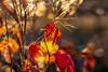 Bokehlicious autumn sunset... (.: mike | MKvip Beauty :.) Tags: sony⍺6300 sonyilce6300 sonyalpha6300 sonyalpha sony alpha emount ⍺6300 ilce6300 primelens prime manualexposure manual samyangfe50mmƒ14asifum samyangfe50mmƒ14 samyangfe50mmf14 samyang 50mm ƒ14 aspherical umc af macro makro handheld availablelight naturallight backlight backlighting sunset sunsetlight shallowdof bokeh bokehlicious beyondbokeh extremebokeh smoothbokeh dreamy soft zen nature orange yellow red leaves autumn fall wörthamrhein germany europe mth mkvip samyangfe50mmƒ14asifumcaf ngc