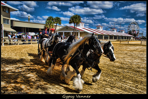 gypsy vanners at the royal fair