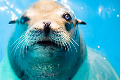 Old Blue Eyes (Thomas Hawk) Tags: california usa america unitedstates 10 unitedstatesofamerica amusementpark sixflags eastbay sealion marineworld vallejo fav10 sixflagsdiscoverykingdom discoverykingdom gettyartistpicksoct09