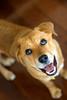 Zamboni (Heather Leah Kennedy) Tags: dog austin puppy texas adopted zamboni animalshelter townlakeanimalcenter impressedbeauty townlakeanimalshelter