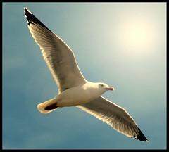 (andrewlee1967) Tags: uk england seaside gull andrewlee canon400d andrewlee1967 superaplus aplusphoto andylee1967 focusman5
