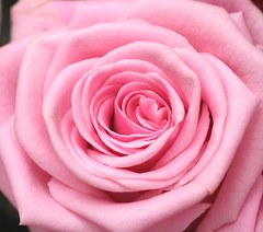 Rose Roos (Truus) Tags: rose roos excellence truus naturesfinest