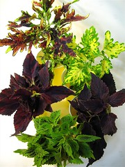 Coleus Batch 2 (of 3)