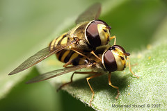 hover (dawey [Mohammad Alhameed]) Tags: macro green canon iso100 canon20d extreme f10 kuwait  mohammad eos20d hover yousef mohamad canon100macro  picturecollection conon vwc   q8picturescom dawey  kuwaitvoluntaryworkcenter  photovwc kuwaitvwc