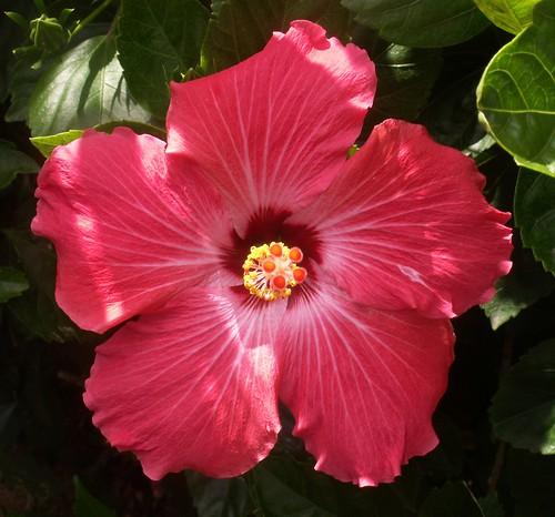 070525-hibiscus3-altered