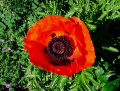 Poppy (Ann Althouse) Tags: flowers flower poppy