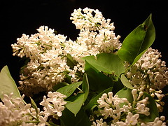 Nighttime Lilacs (v-nick) Tags: night nighttime lilacs whitelilacs