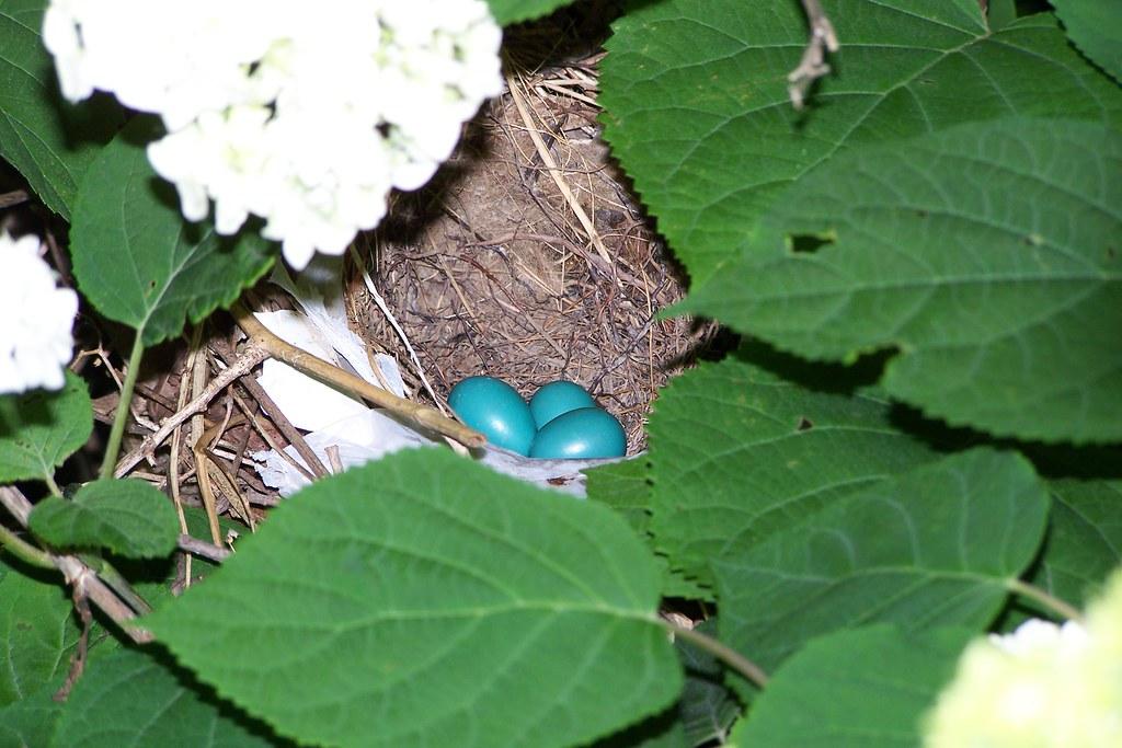 Robin's eggs!