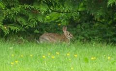 A wild bunny