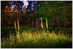 A taste of the summer wine (Kevin_Jeffries) Tags: wildflowers flowers grass tree evening nature landscape summer newzealand flickr new nikon d7100 1685mm nikkor nz light sunlight colour december