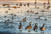 the management (Christian Collins) Tags: geese saginaw river open water ice cold winter invierno ducks management incharge goose canadiangeese mallards canoneos5dmarkiv ef24105mmf4lisusm