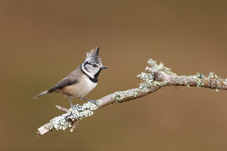 Crested tit,