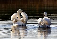 Following. (pstone646) Tags: swans birds nature lake water reflections stodmarsh animals wildlife kent