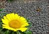 Flight to paradise (Soeradjoen) Tags: nature natuur garden tuin flower bloem bee bij insect yellow geel soeradjoen