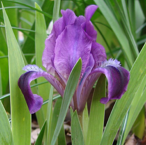 "tiny iris • <a style=""font-size:0.8em;"" href=""http://www.flickr.com/photos/10528393@N00/443826733/"" target=""_blank"">View on Flickr</a>"