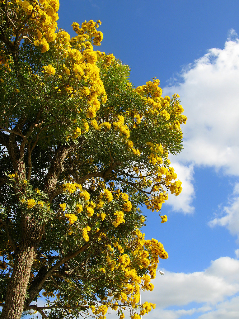 Tabebuia in full bloom