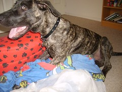 happy (robstephaustralia) Tags: dog cute puppy dante great mastiff dane bullfight toro matador
