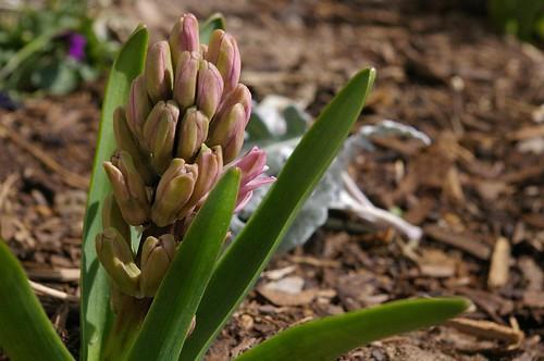 hyacinth?