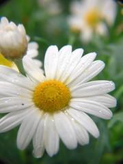 Tesco flowers - by samdiablo666