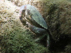Edible crab (mkrzysztofowicz) Tags: ireland sea water animals underwater crab diving clogherhead nikoncoolpix8800 ediblecrab