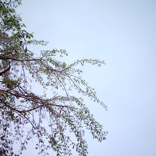 しだれ葉桜