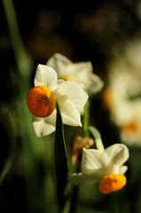 Narcissuses (MARQUEE MOON) Tags: izu naturesfinest specnature
