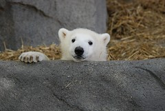 Arki's cub - Hudson (Simba on 17th) Tags: bear cub interestingness polarbear bearcub brookfieldzoo whitebear arki polarbearcub impressedbeauty