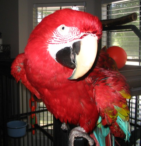 Pheobe the Greenwing Macaw