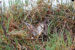 pheasantwings.JPG