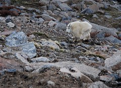 Mountain Goat - by Rob Lee