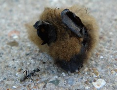 What your kitty cat left behind (Ann Althouse) Tags: ant bat eaten bodyparts gruesome shreds