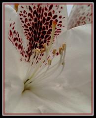 White dream (Kirsten M Lentoft) Tags: white flower closeup excellence naturesfinest rhododendrom blueribbonwinner flowerotica impressedbeauty momse2600 kirstenmlentoft