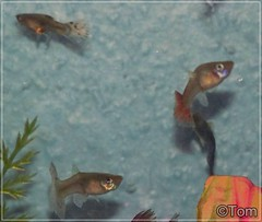 Guppies (TomLovesAnimals) Tags: fish guppy guppies livebearer