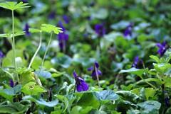 Winter Violets