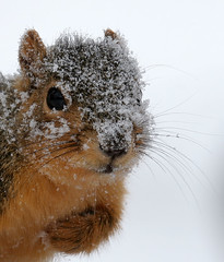 ...April Fool... (Random Images from The Heartland) Tags: winter snow storm nature animal southdakota squirrel heartland change climatechange climate globalwarming georgew animalkingdomelite