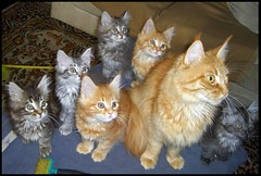 Peaches and co. (fastcat!) Tags: kat chat kitty kittens gato mainecoon peaches katze gatto picnik 2007 fastcat creamsicles notmycats othercats bestofcats impressedbeauty cat1500 kittyschoice diamondclassphotographer flickrdiamond pet500 pet1000 explore44129 cwcc ilovemypic fuzzyonez diamondclassphotographrer 100commentgroup catnipaddicts